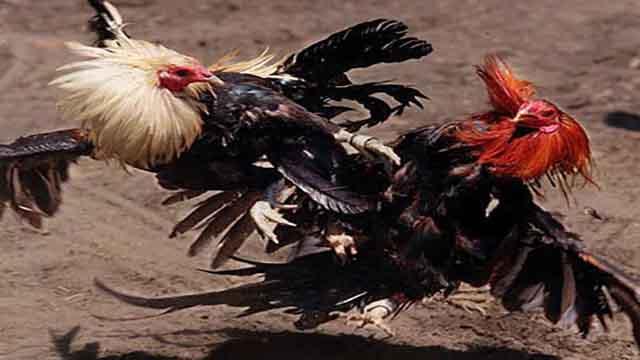 Main Judi Sabung Ayam Online