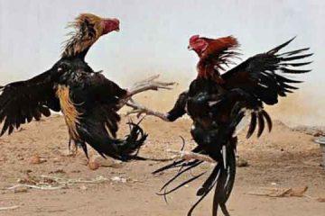 S128 Ayam Sabung Online