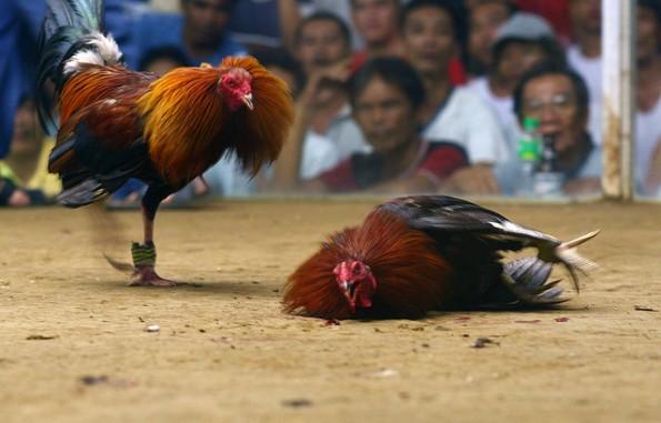 Taruhan Judi Ayam Online Terpercaya