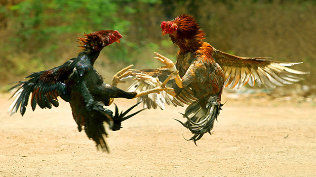 Judi Online Live Sabung Ayam