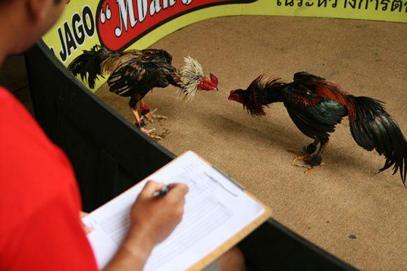 Main Sabung Ayam Pukul Mati